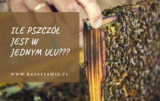 ile pszczol jest w ulu