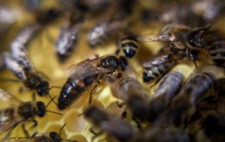 matka pszczela królowa bee queen
