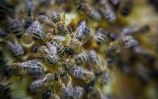 rój rójka nowa rodzina pszczela
